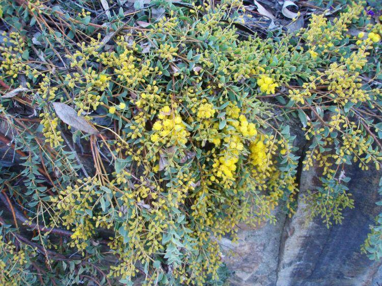 Image Acacia Cultriformis Cascade Knife Acacia Biolibcz