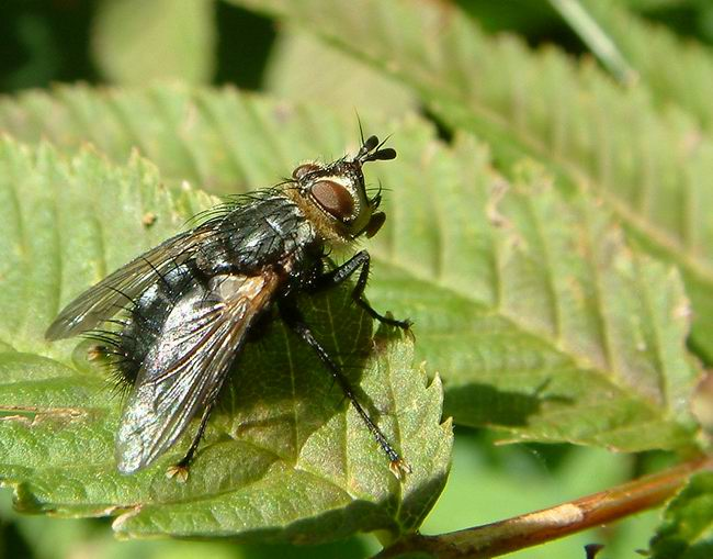 Tachinidae - parasitic flies