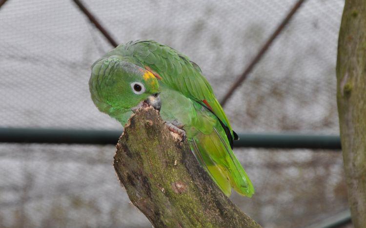 Amazona farinosa farinosa - Mealy Parrot