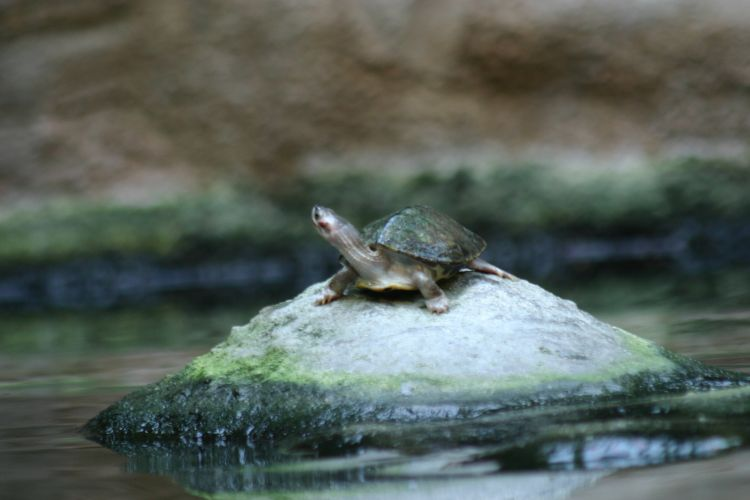 Brown Roofed Turtle Amp A Brown Roofed Turtle Kachuga Smithii