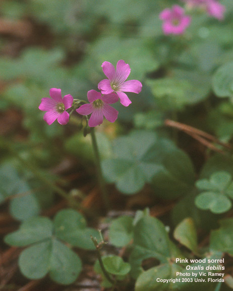 Oxalis debilis - Large-flowered Pink-sorrel