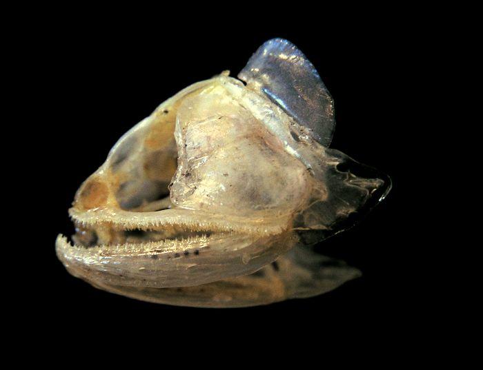 Image Pantodon Buchholzi African Butterflyfish
