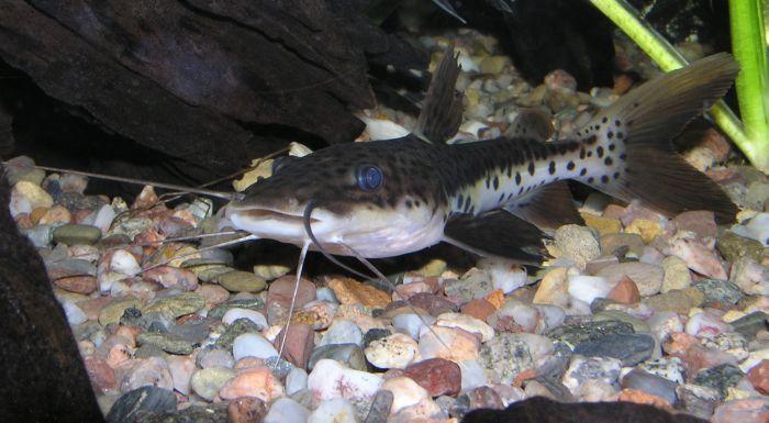 Pseudoplatystoma fasciatum (Barred sorubim) (Silurus fasciatus)