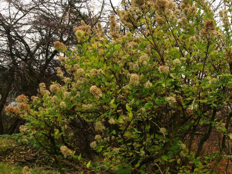 Image Abelia Chinensis Biolibcz