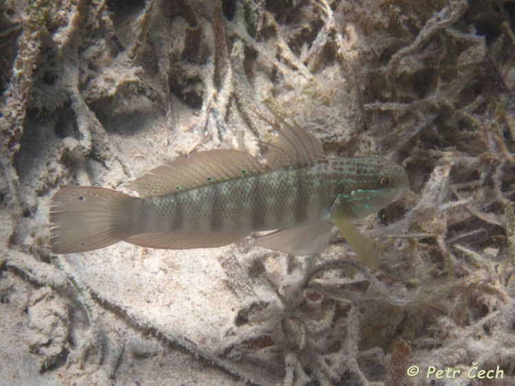 Amblygobius albimaculatus - Butterfly Goby