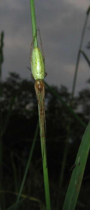 Tetragnatha extensa - Common Stretch-spider