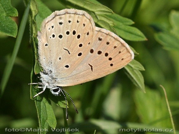 Maculinea teleius - Scarce Large Blue