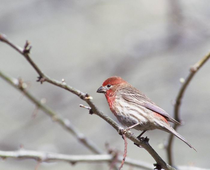 Carpodacus mexicanus - House Finch