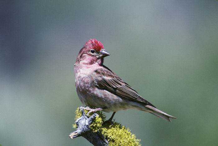 Carpodacus cassinii - Cassin's Finch
