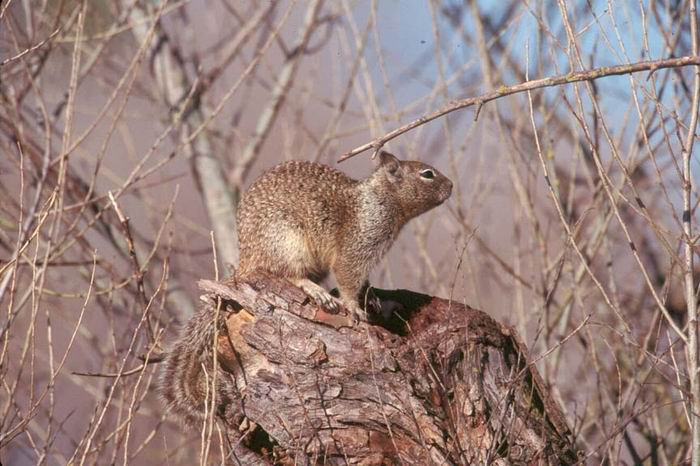 Otospermophilus beecheyi - California Ground Squirrel