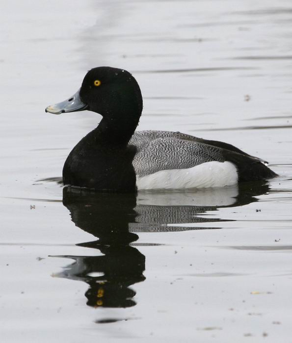 Aythya marila - Greater Scaup