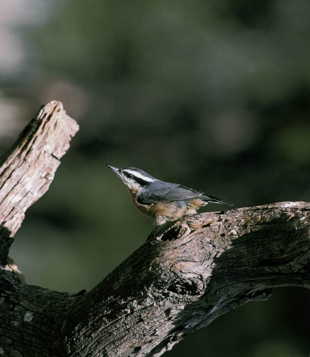 Sitta canadensis - Red-breasted Nuthatch