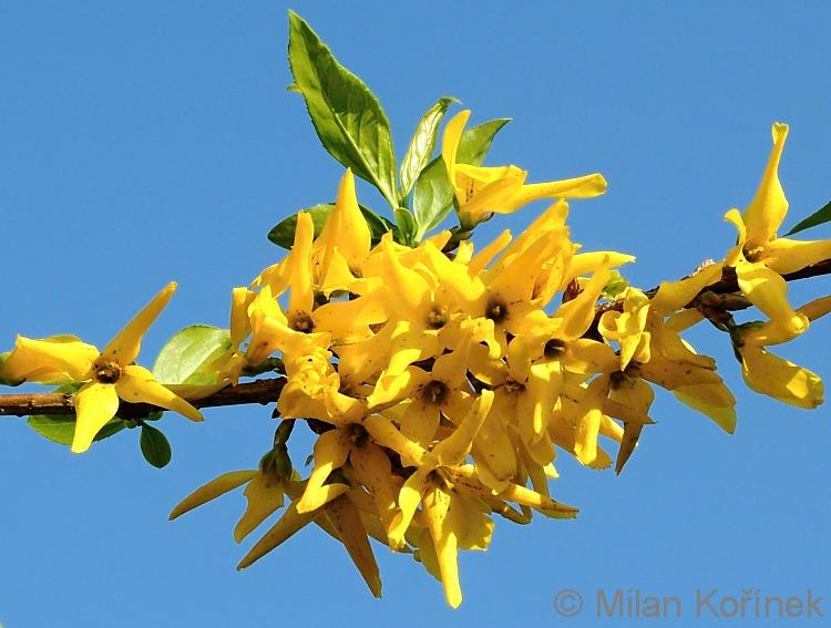 Image result for golden bell forsythia