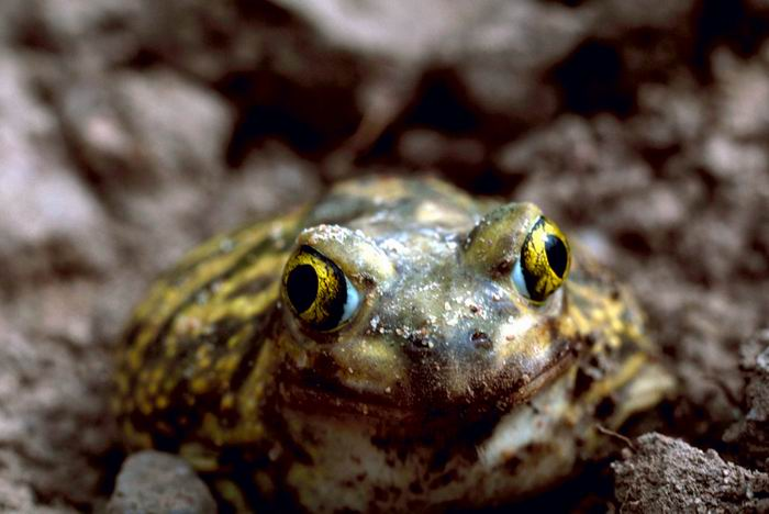 Scaphiopus couchii - Couch's Spadefoot