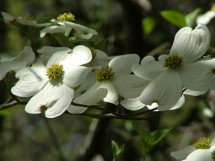 Cornus florida - Flowering Dogwood