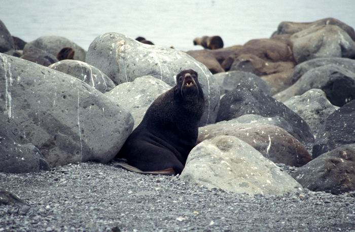 Callorhinus ursinus - Northern Fur Seal