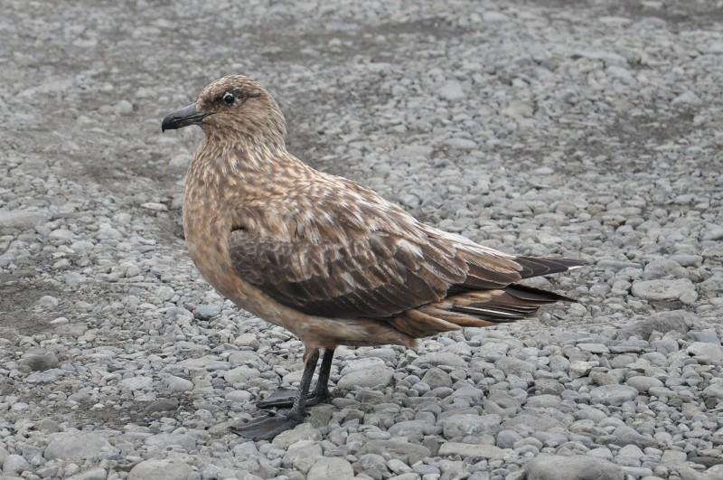 Catharacta skua - Great Skua