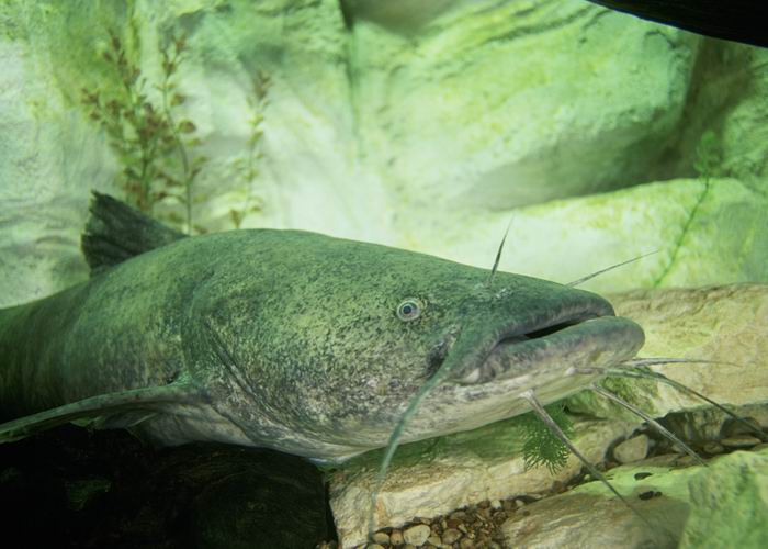 Pylodictis olivaris - Flathead Catfish