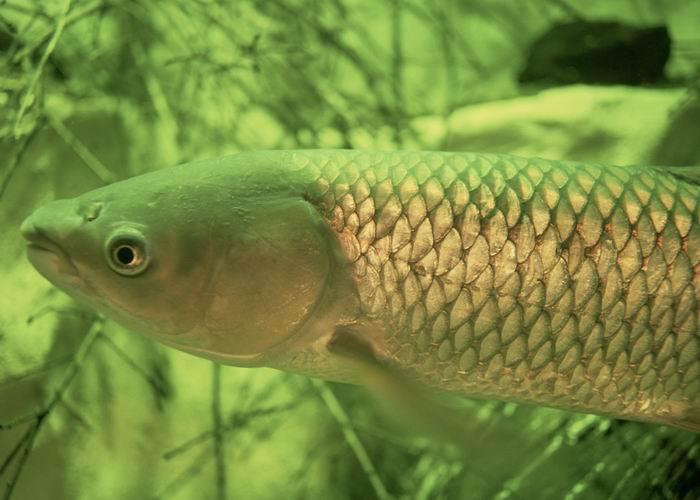 Ctenopharyngodon idella (Grass carp) (Leuciscus idella)