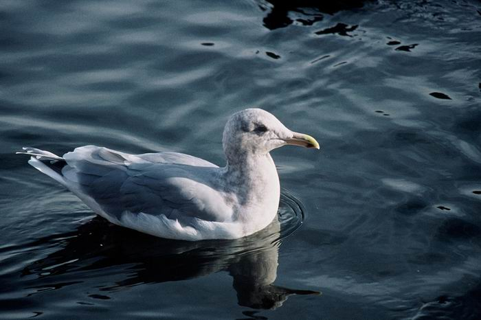 Larus glaucescens - Glaucous-winged Gull