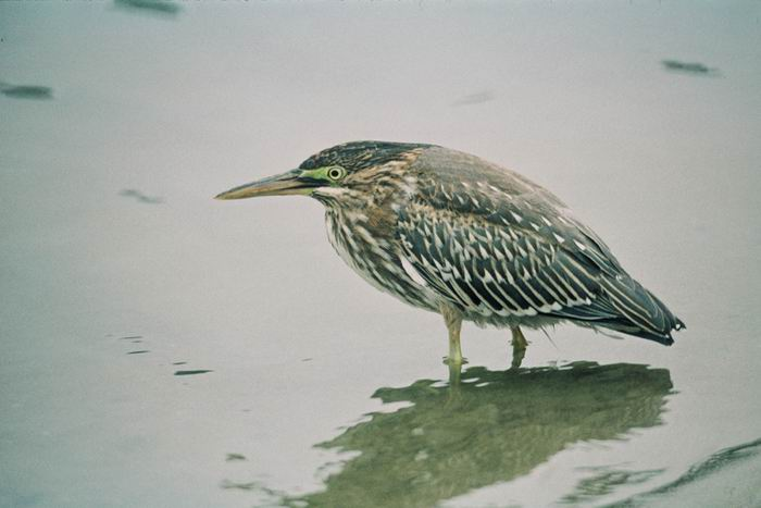 Butorides striatus - Striated Heron