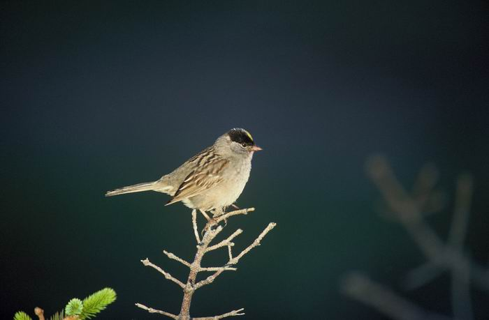 Zonotrichia atricapilla - Golden-crowned Sparrow
