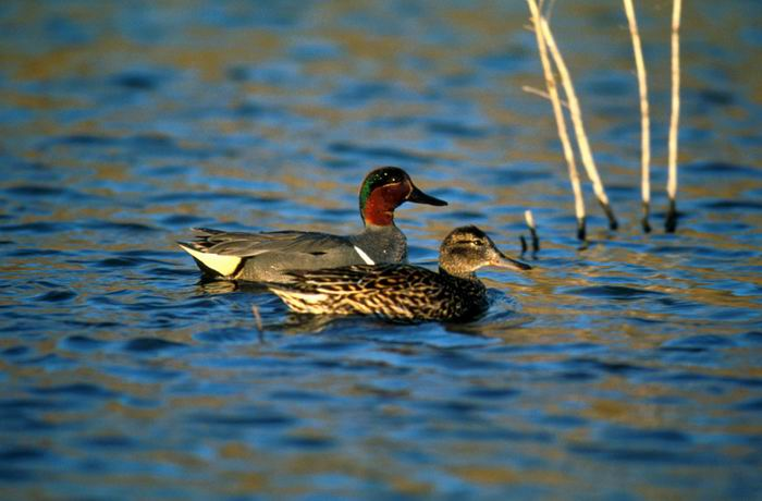 Anas crecca - Green-winged Teal