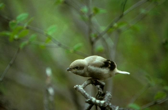 Lanius borealis - Northern Shrike