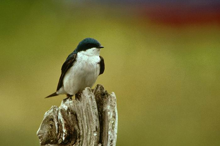 Tachycineta bicolor - Tree Swallow
