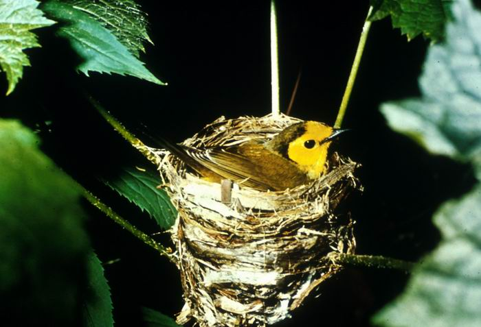Setophaga citrina - Hooded Warbler