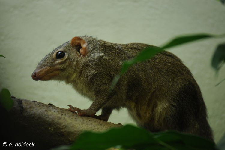Tupaia belangeri - Northern Tree Shrew