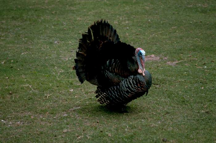 Meleagris gallopavo silvestris - Eastern Wild Turkey