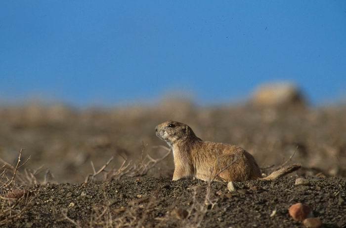 Arizona Black-Tailed Prairie Dog - 6