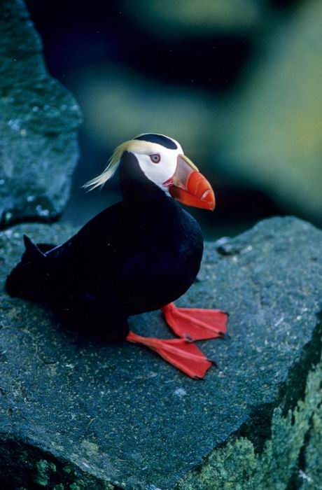 Fratercula cirrhata - Tufted Puffin