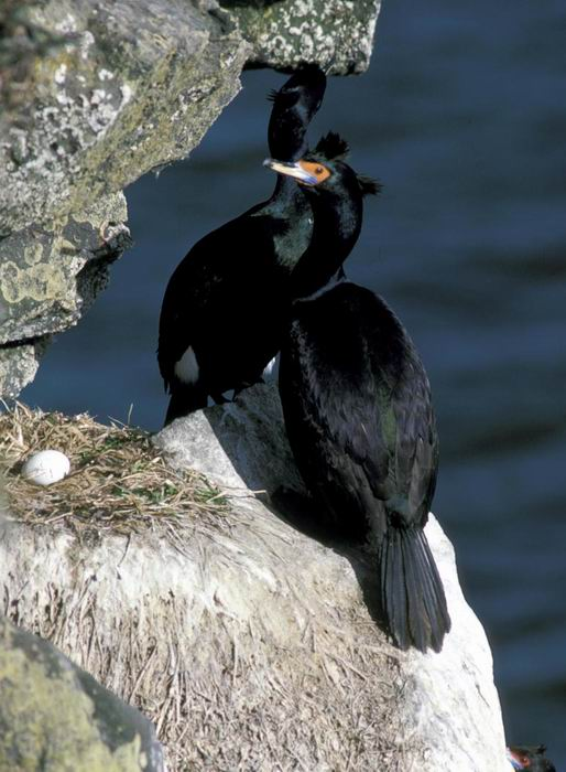Phalacrocorax urile - Red-faced Cormorant
