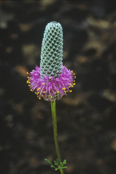 Image of Dalea purpurea