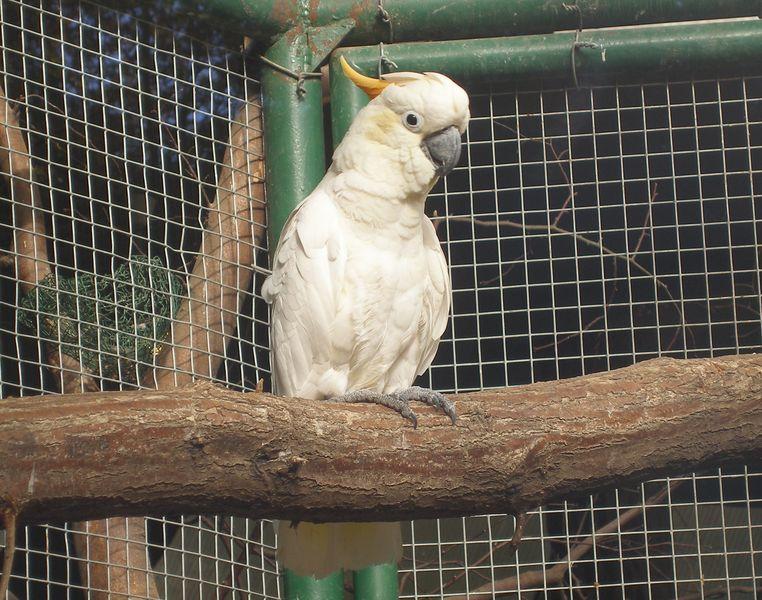 Cacatua sulphurea - kakadu žlutolící