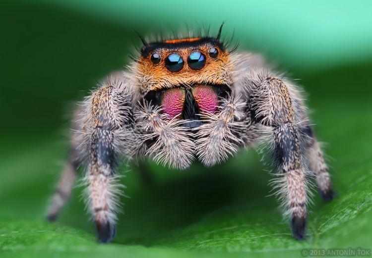 Phidippus Regius Regal Jumping Spider Biolib Cz
