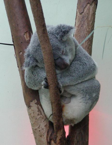 Phascolarctos cinereus - Koala