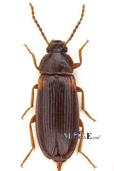 Image - Mycetochara axillaris | BioLib.cz