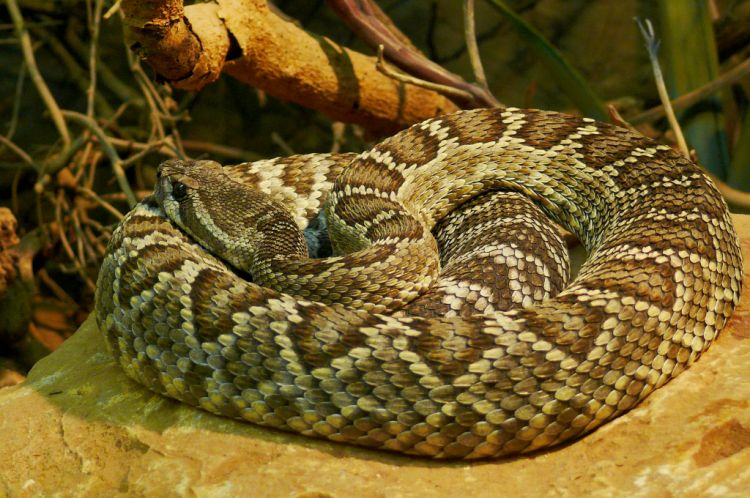 Top 10 Venomous Snakes in North America  Grand View Outdoors