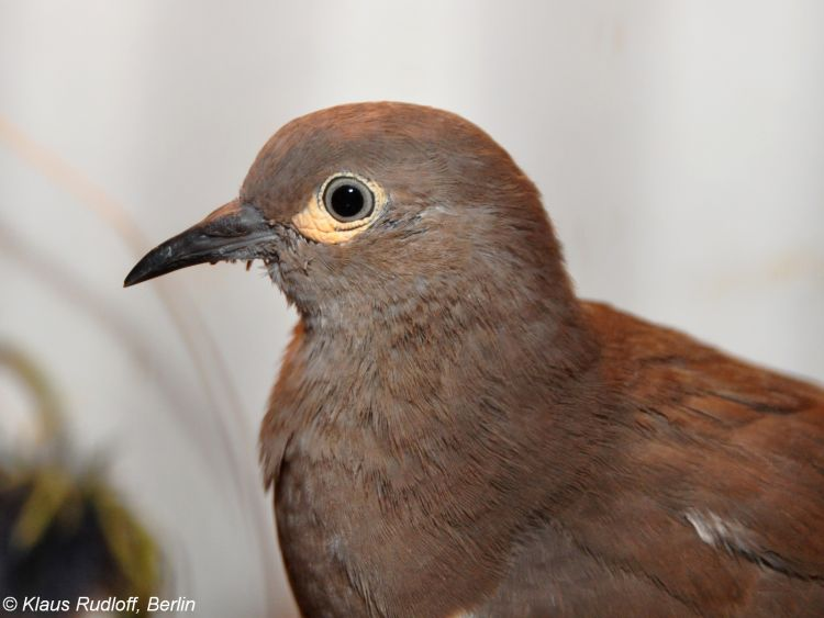 Metriopelia melanoptera - Black-winged Ground-dove