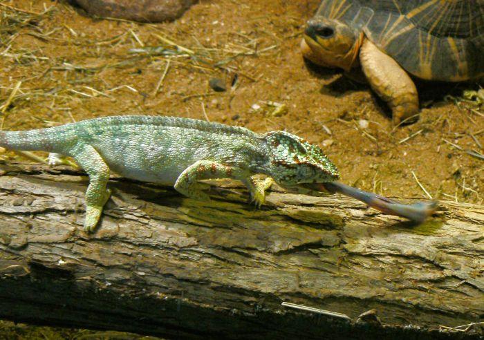Image - Furcifer oustaleti (Oustalet's Chameleon)   BioLib.cz