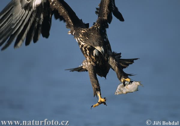 Haliaeetus albicilla - White-tailed Eagle