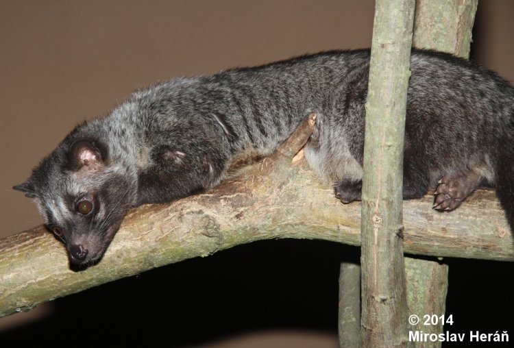 Paradoxurus hermaphroditus philippinensis - Asian Palm Civet