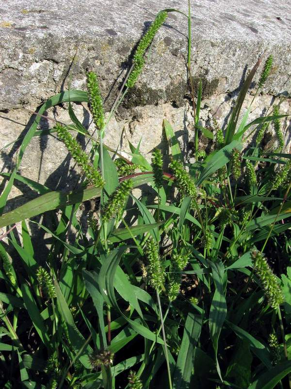 Setaria viridis - Green Bristle-grass