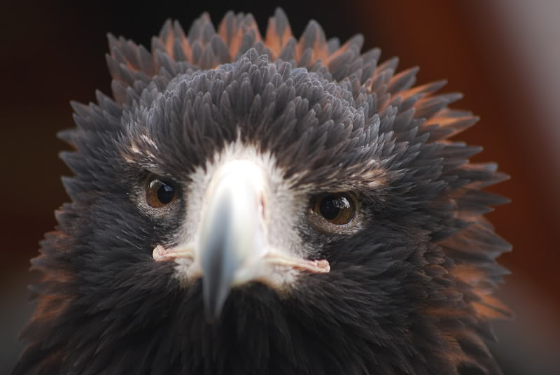 Aquila audax - Wedge-tailed Eagle