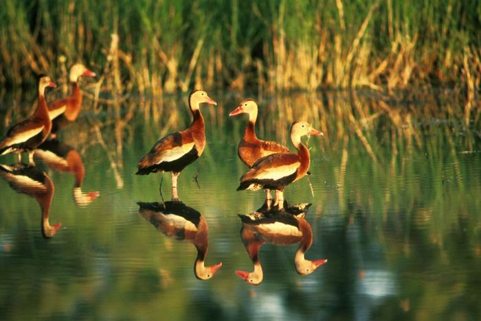 Dendrocygna autumnalis - Red-bellied Whistling Duck