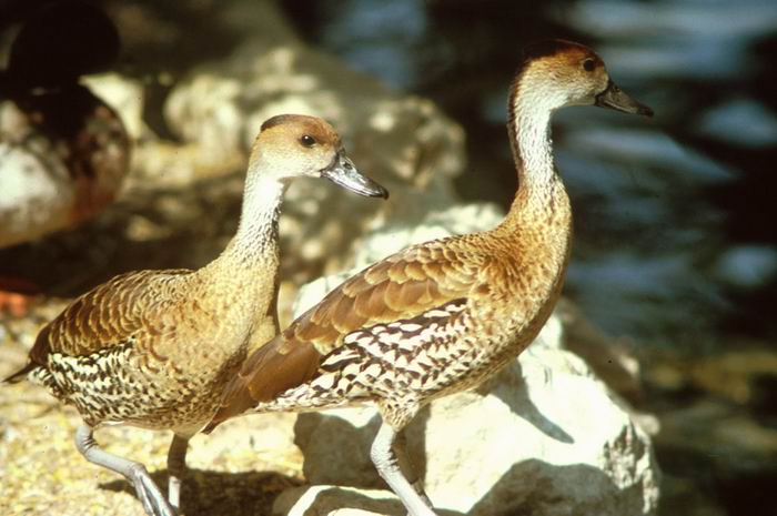 Dendrocygna arborea - West Indian Whistling-duck