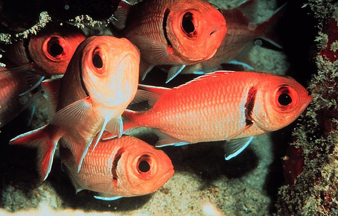 Myripristis jacobus - Blackbar Soldierfish